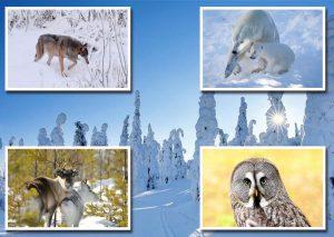 fauna de Laponia