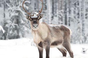 Renos - Laponia