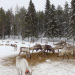 Granja de renos - Kuusamo - dia 2