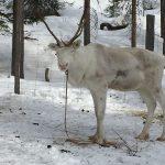 Granja de Renos - Navidad en Salla - dia 3