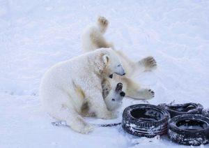 Osos polares - zoo ranua